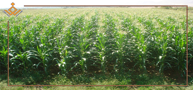 پیش بینی تولید بیش از ۱۴.۷ میلیون تن ذرت دانه ای و سیلویی در سال زراعی جاری